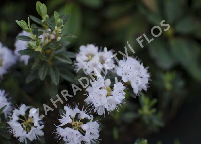 Pěnišník obtížený 'Alba' - Rhododendron impeditum 'Alba'