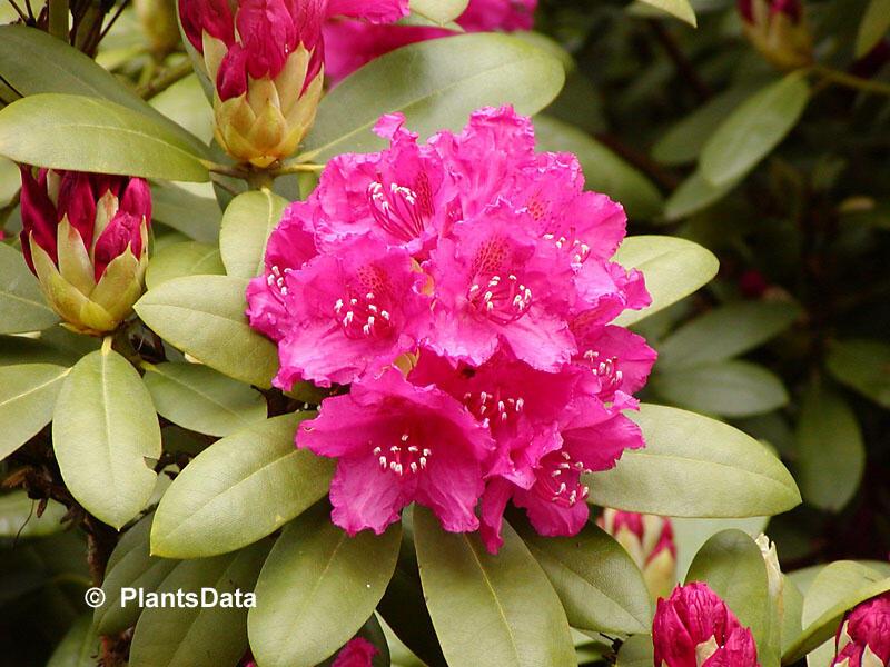 Pěnišník 'Darius' - Rhododendron 'Darius'