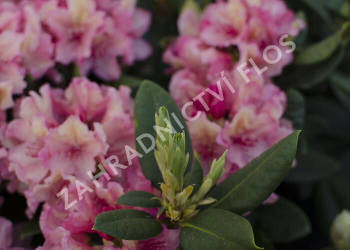 Pěnišník 'Brasilia' - Rhododendron 'Brasilia'