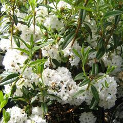 Pěnišník 'Arctic Tern' - Rhododendron 'Arctic Tern'