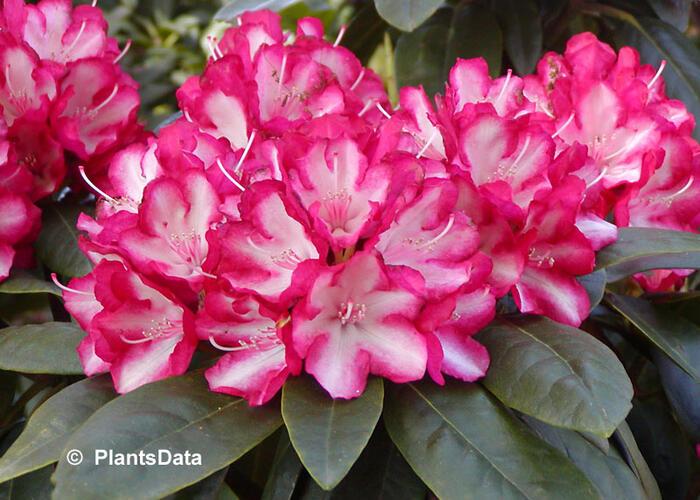 Pěnišník 'Ann Lindsay' - Rhododendron (Y) 'Ann Lindsay'