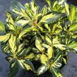 Pěnišník 'Gold Shine' - Rhododendron (T) 'Gold Shine'