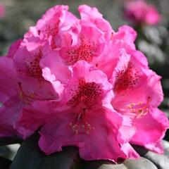 Pěnišník 'Constanze' - Rhododendron (T) 'Constanze'