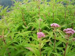 Sadec konopáč - Eupatorium cannabinum