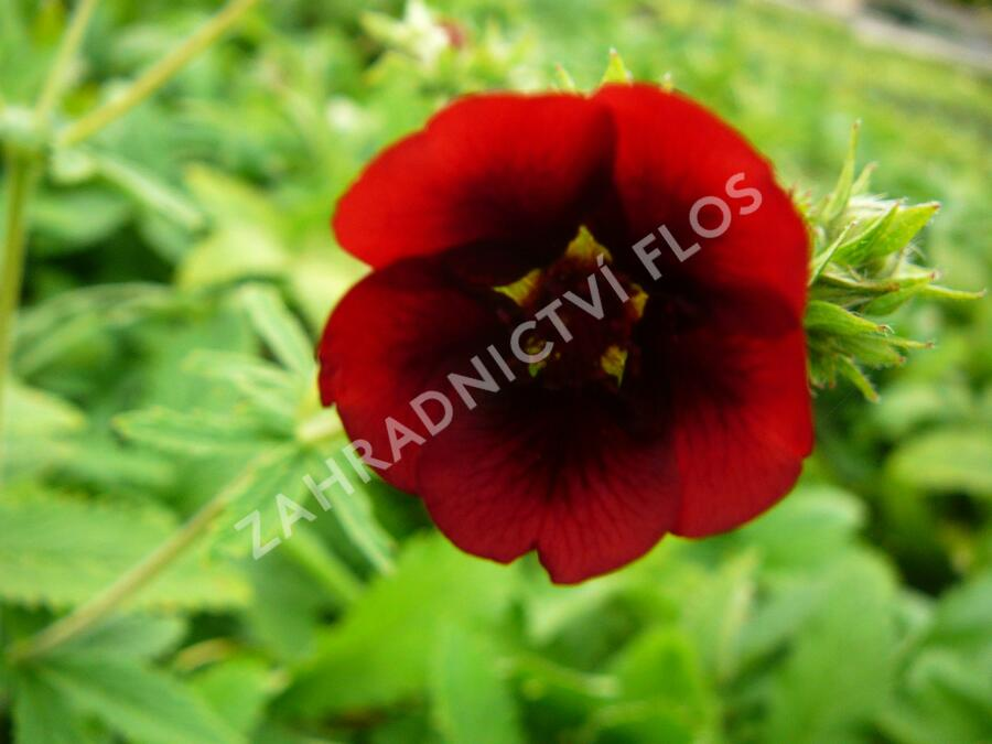 Mochna 'Monarch's Velvet' - Potentilla thurberi 'Monarch's Velvet'