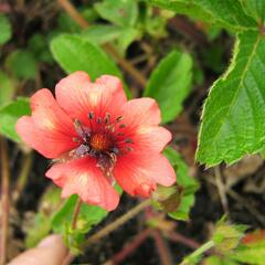 Mochna nepálská 'Miss Willmott' - Potentilla nepalensis 'Miss Willmott'