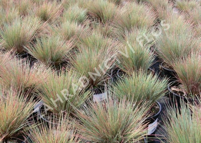 Paličkovec šedavý 'Spiky Blue' - Corynephorus canescens 'Spiky Blue'