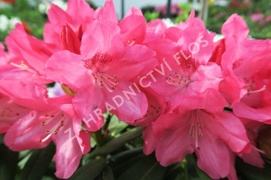 Pěnišník 'Sneezy' - Rhododendron (Y) 'Sneezy'