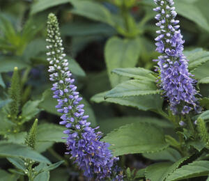 Rozrazil klasnatý 'Blue Bouquet' - Veronica spicata 'Blue Bouquet'
