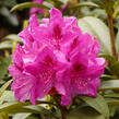 Pěnišník 'Anah Kruschke' - Rhododendron (T) 'Anah Kruschke'