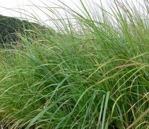 Dochan psárkovitý 'Moudry' - Pennisetum alopecuroides 'Moudry'