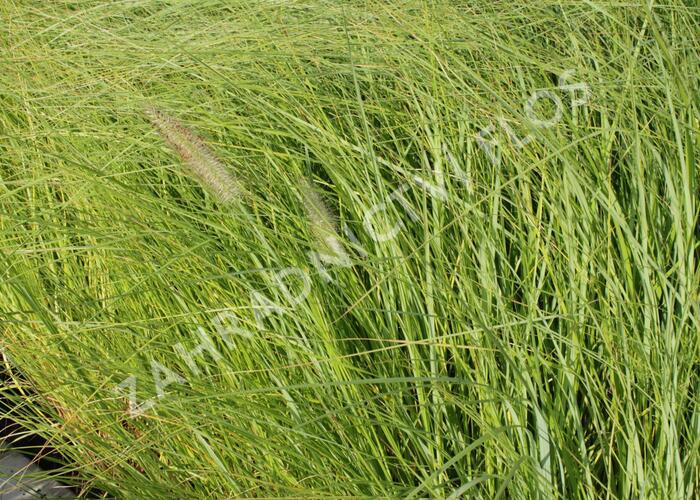Dochan psárkovitý 'Magic' - Pennisetum alopecuroides 'Magic'