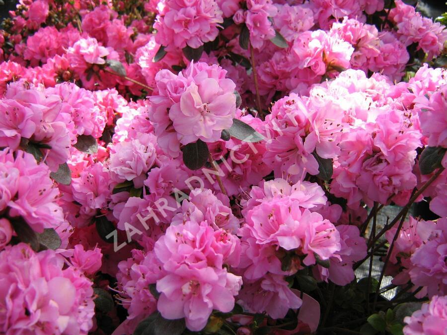 Azalka japonská 'Rosinetta' - Azalea japonica 'Rosinetta'