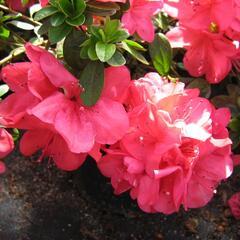 Azalka japonská 'Moederkensdag' - Azalea japonica 'Moederkensdag'