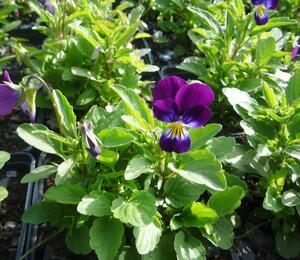 Violka růžkatá 'Karpatenfrühling' - Viola cornuta 'Karpatenfrühling'