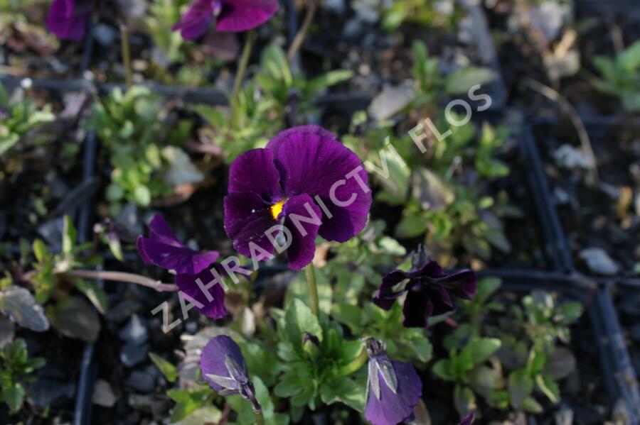 Violka růžkatá 'Admiration' - Viola cornuta 'Admiration'