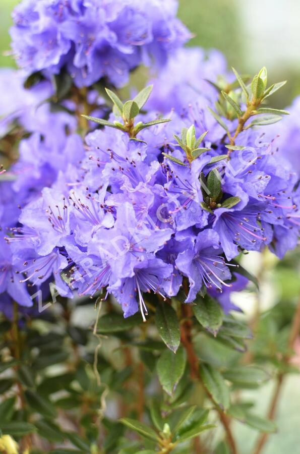 Pěnišník obtížený 'Saint Merryn' - Rhododendron impeditum 'Saint Merryn'