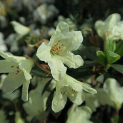 Pěnišník 'Town Head' - Rhododendron 'Town Head'