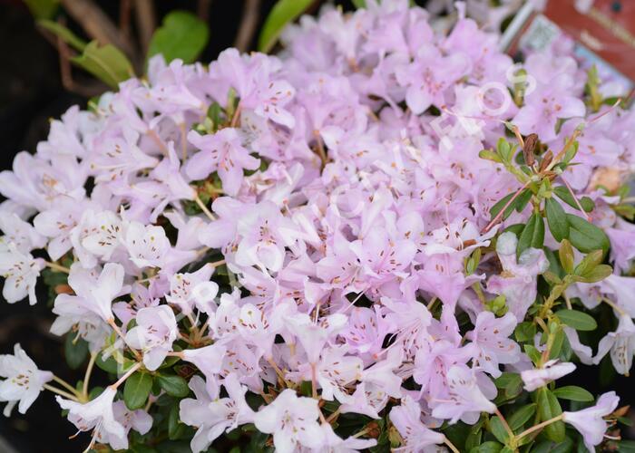 Pěnišník 'Snipe' - Rhododendron 'Snipe'