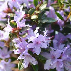 Pěnišník 'Moerheim' - Rhododendron impeditum 'Moerheim'