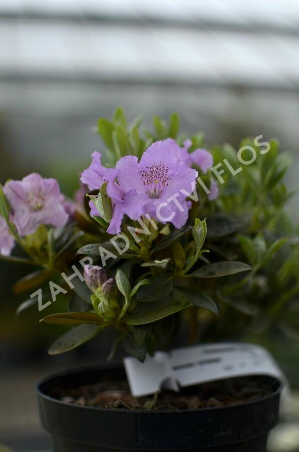 Pěnišník 'Lavendula' - Rhododendron 'Lavendula'