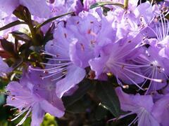 Pěnišník 'Blumeria' - Rhododendron 'Blumeria'