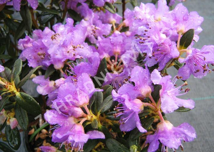 Pěnišník rozprostřený 'Azurella' - Rhododendron 'Azurella'