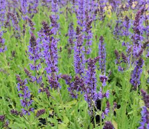 Šalvěj hajní 'Mainacht' - Salvia nemorosa 'Mainacht'