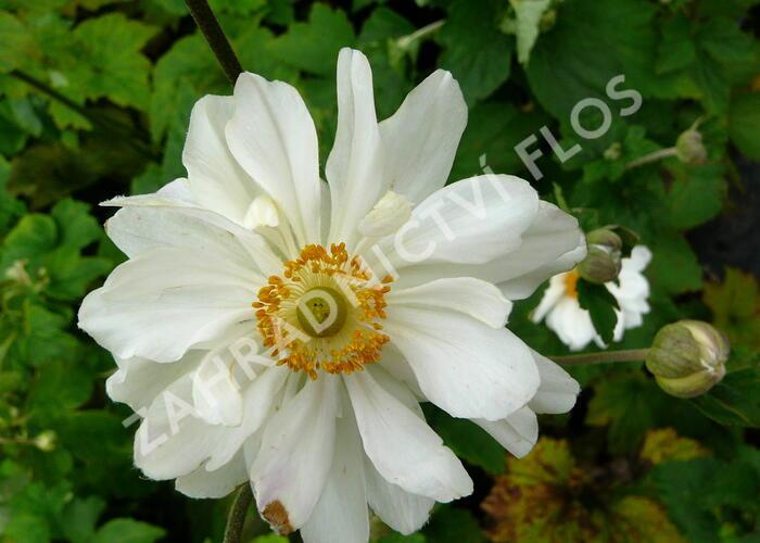Sasanka japonská  'Whirlwind' - Anemone japonica 'Whirlwind'