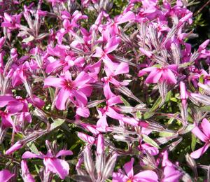 Plamenka šídlovitá 'Mc Daniel's Cushion' - Phlox subulata 'Mc Daniel's Cushion'