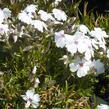 Plamenka šídlovitá 'Amazing Grace' - Phlox subulata 'Amazing Grace'