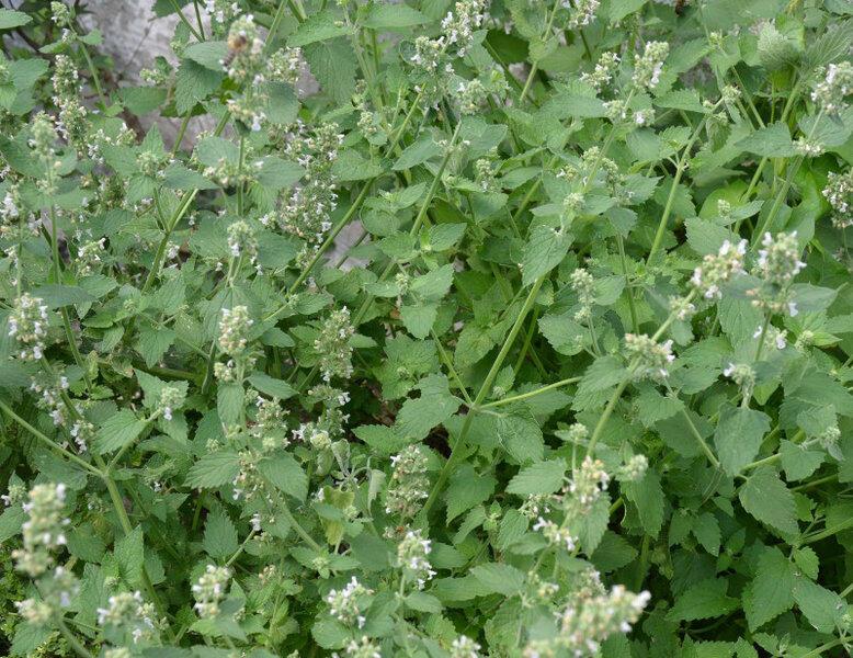 Šanta kočičí - Nepeta cataria ssp. citriodora
