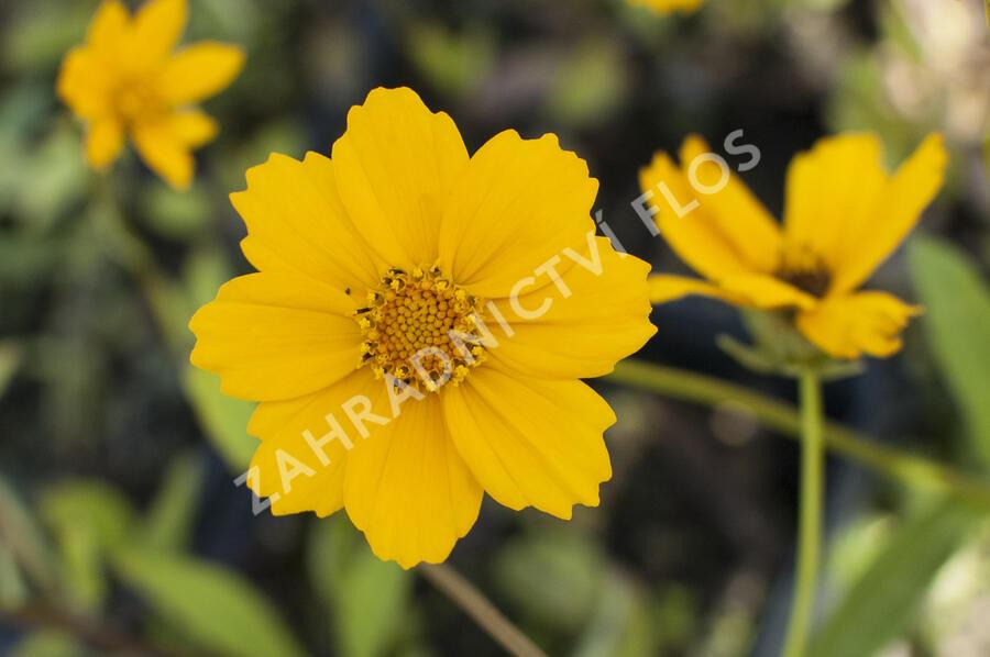 Krásnoočko 'Elfin Gold' - Coreopsis auriculata f. nana 'Elfin Gold'