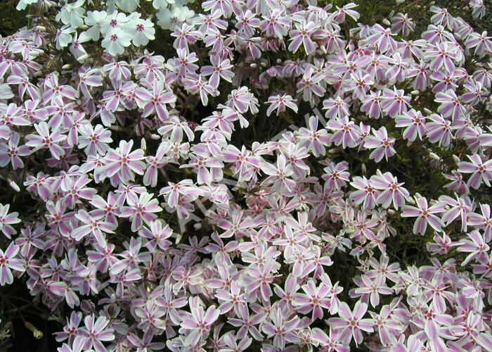 Plamenka šídlovitá 'Candy Stripes' - Phlox subulata 'Candy Stripes'