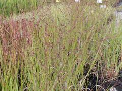 Proso prutnaté 'Squaw' - Panicum virgatum 'Squaw'