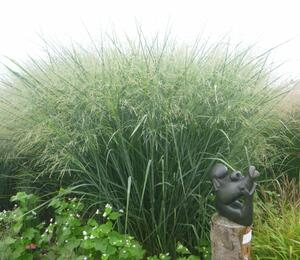 Proso prutnaté 'Cloud Nine' - Panicum virgatum 'Cloud Nine'