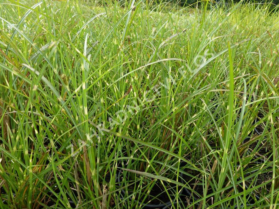 Ozdobnice čínská 'Zebrinus' - Miscanthus sinensis 'Zebrinus'