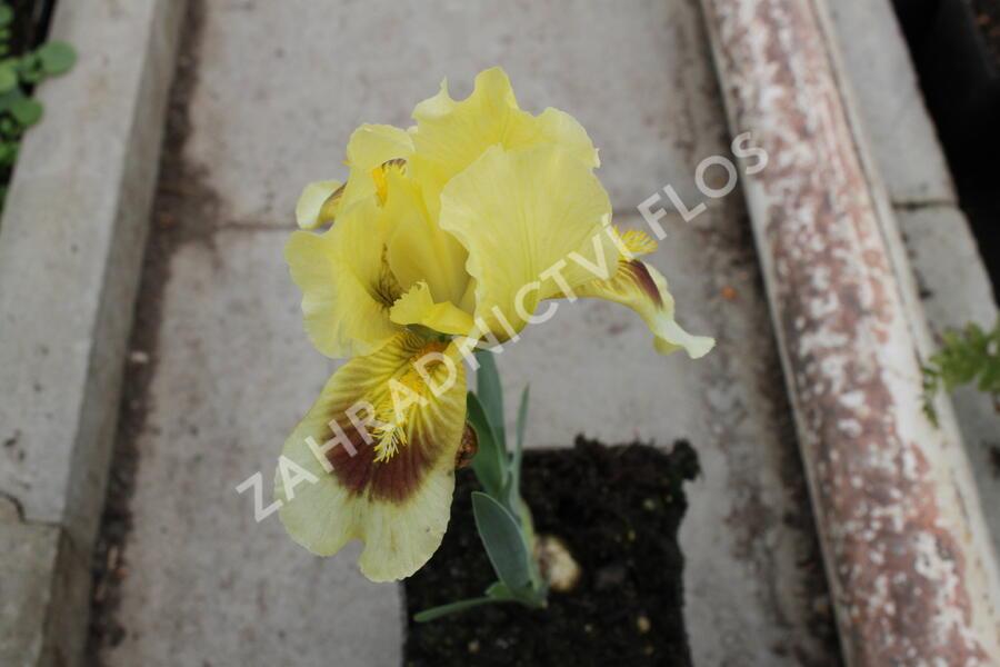 Kosatec bledý - Iris pallida