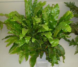 Jelení jazyk - Asplenium scolopendrium