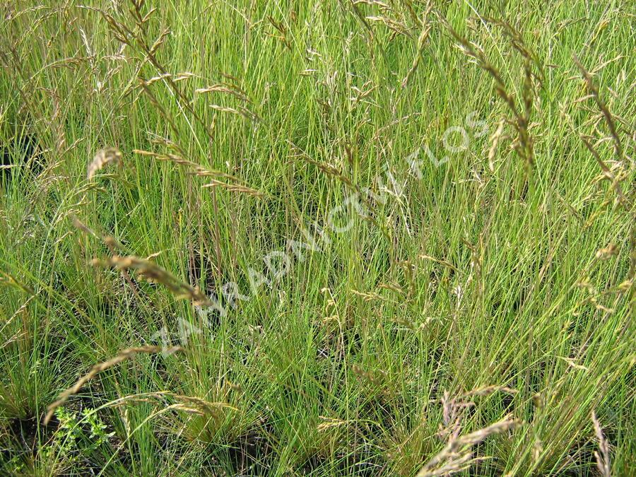 Paličkovec šedavý - Corynephorus canescens