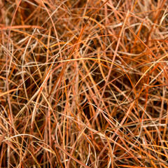 Ostřice - Carex tenuiculmis
