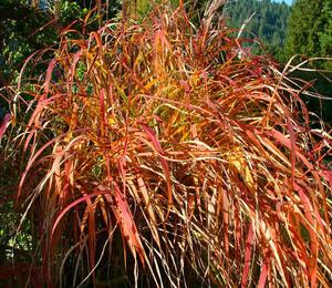 Ozdobnice čínská 'Purpurescens' - Miscanthus sinensis 'Purpurescens'