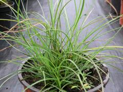 Ozdobnice čínská 'Gnom' - Miscanthus sinensis 'Gnom'