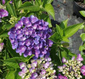 Hortenzie velkolistá 'Tevere' - Hydrangea macrophylla 'Tevere'