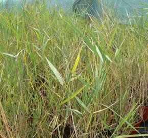 Rákos obecný - Phragmites australis