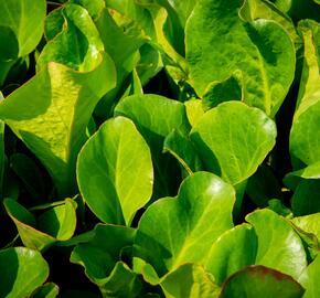 Bergénie srdčitá 'Winterglut' - Bergenia cordifolia 'Winterglut'