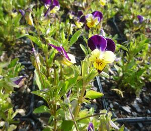Violka růžkatá 'Helen Mount' - Viola cornuta 'Helen Mount'