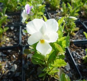 Violka růžkatá 'White Perfection' - Viola cornuta 'White Perfection'