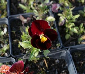 Violka růžkatá 'Rubin' - Viola cornuta 'Rubin'