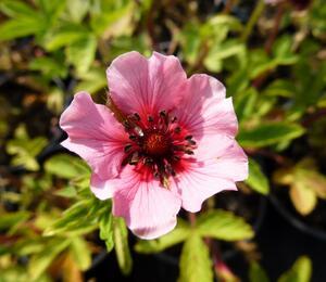 Mochna 'Helen Jane' - Potentilla nepalensis 'Helen Jane'